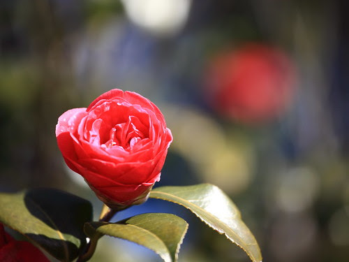 Camellia sasanqua / 寒椿(かんつばき)