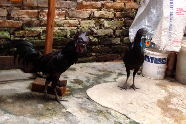 86 Gambar Ayam Cemani Dan Harganya Paling Bagus