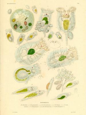 Hydatinaea, Notommata - parasita, granularis, brachionus, tripus, clavulata ..