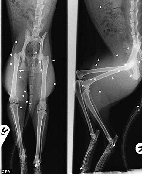 The incredible X-ray that showed how cat named Hope survives being blasted by THIRTY airgun pellets  1