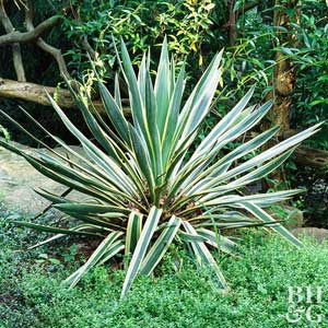Plant Encyclopedia: Yucca ~ Bless My Weeds