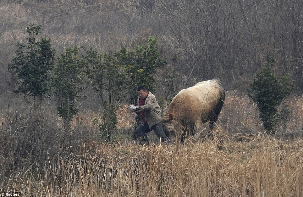 A cow escaped from a truck and attacked a farmer trying to catch it in Liangdun village of Nangang township, Anhui province