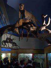 durban natural history museum - leopard