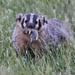 jenner badger. Sonoma Land Trust Photo.