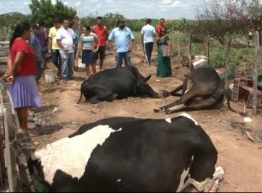 Juazeiro: Polícia apura morte de 9 vacas em fazenda; suspeita é de envenenamento