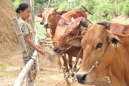 """Người dân xã Tân Xuân """"tự cứu mình"""" bằng cách nuôi bò để tận thu rơm."""