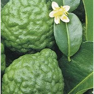 Kaffir Lime Tree Grafted Dwarf/Patio/for Container Growing