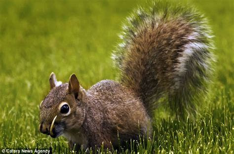 The sabre toothed squirrel: Why this clever creature has a nutty way of eating snacks   Daily