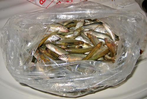 pesciolini d'acqua dolce: pescati e fritti by fugzu