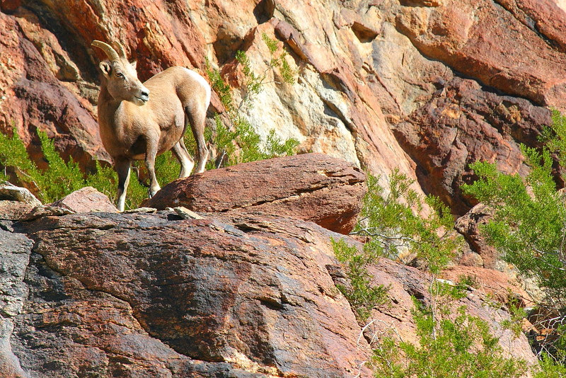 IMG_0846 Peninsular Desert Bighorn Sheep