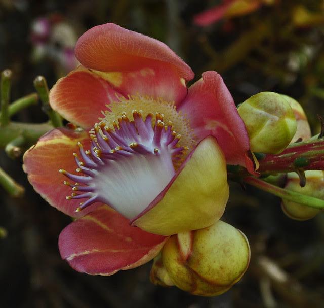Couroupita guianensis (4)