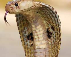 EGYPT: Snake bites passenger on Egyptair flight to Kuwait