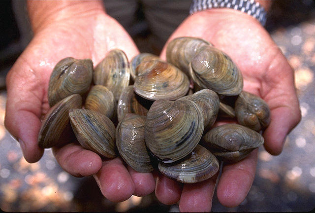 படிமம்:LittleNeck clams USDA96c1862.jpg