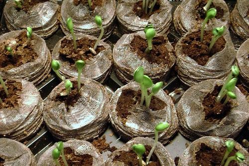 Little Pharma Physic Garden Installation, Fringe Exhibitions, Los Angeles, Oct/Nov 2008