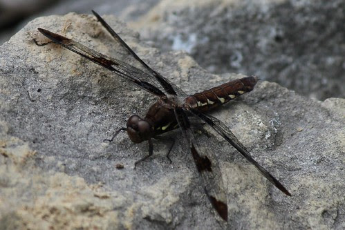 IMG_0787_Dragonfly_at_Ouabache