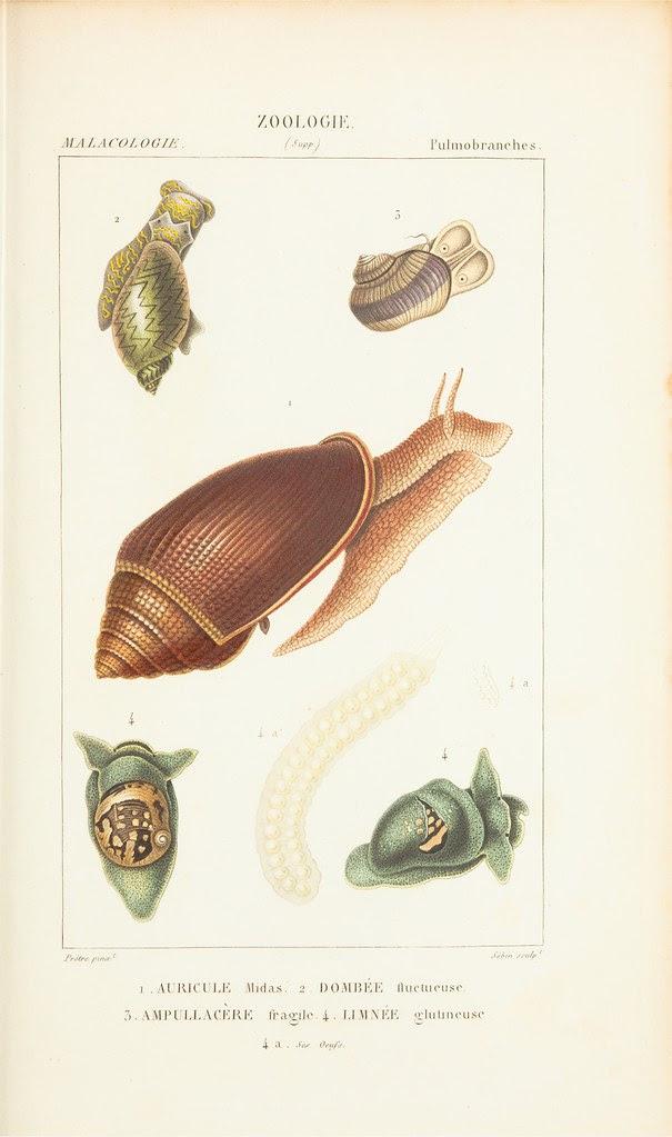 molluscs - gastropods or snails