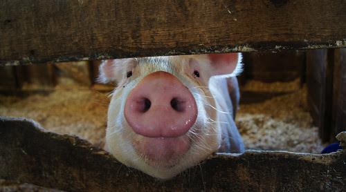 Iowa Pig