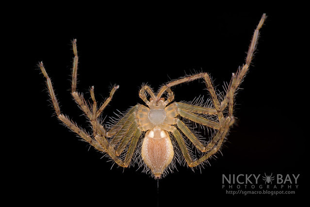 Huntsman Spider (Sparassidae) - DSC_1415
