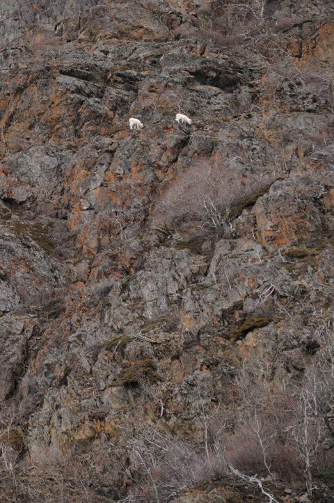 mountain goats_4964_web
