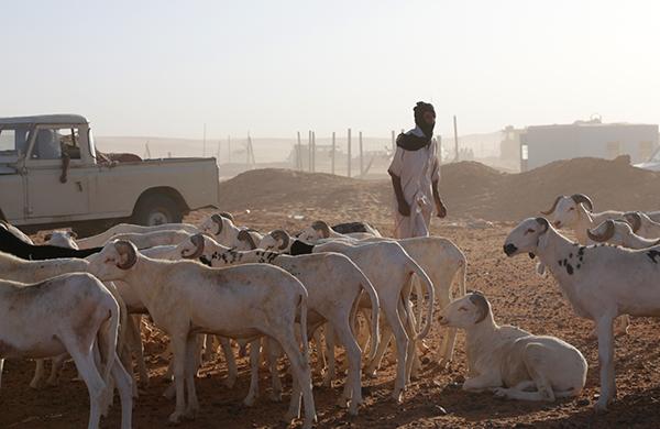 Eid al-Adha 2020 en la República Saharaui: la fiesta del sacrificio del cordero será este viernes 31 de julio