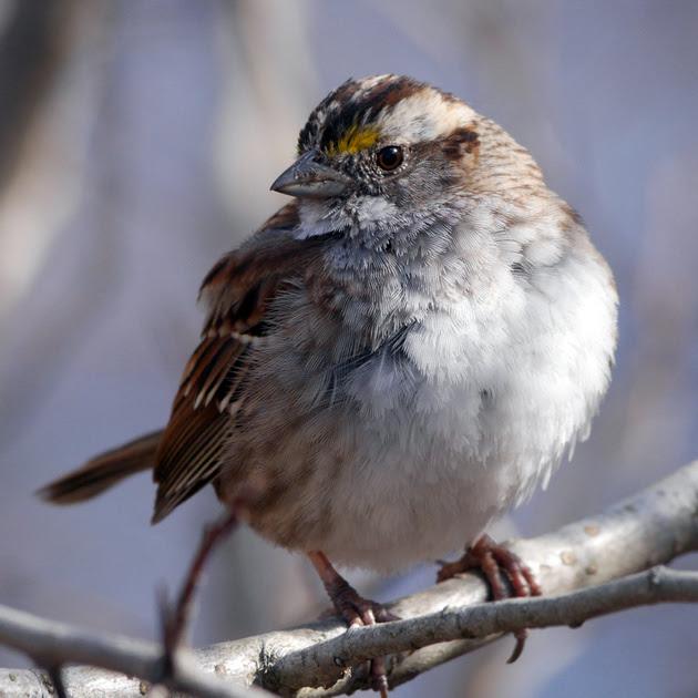 Ed Gaillard: birds &emdash; White-Throated Sparrow, Central Park