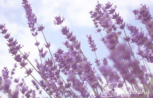http://i402.photobucket.com/albums/pp103/Sushiina/lavendel2.jpg