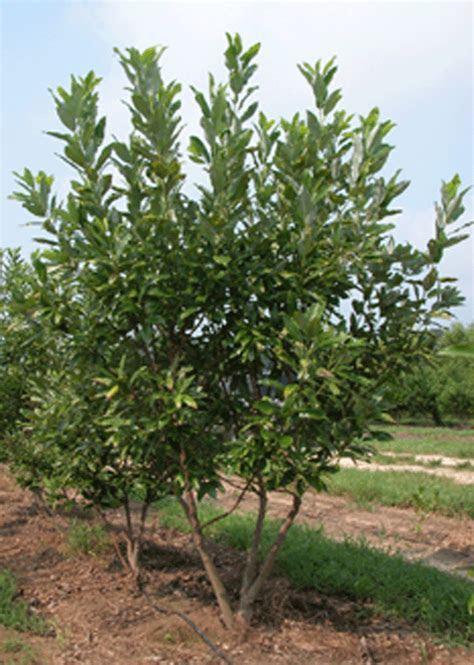 layerwetlandwiki / Sweetbay Magnolia