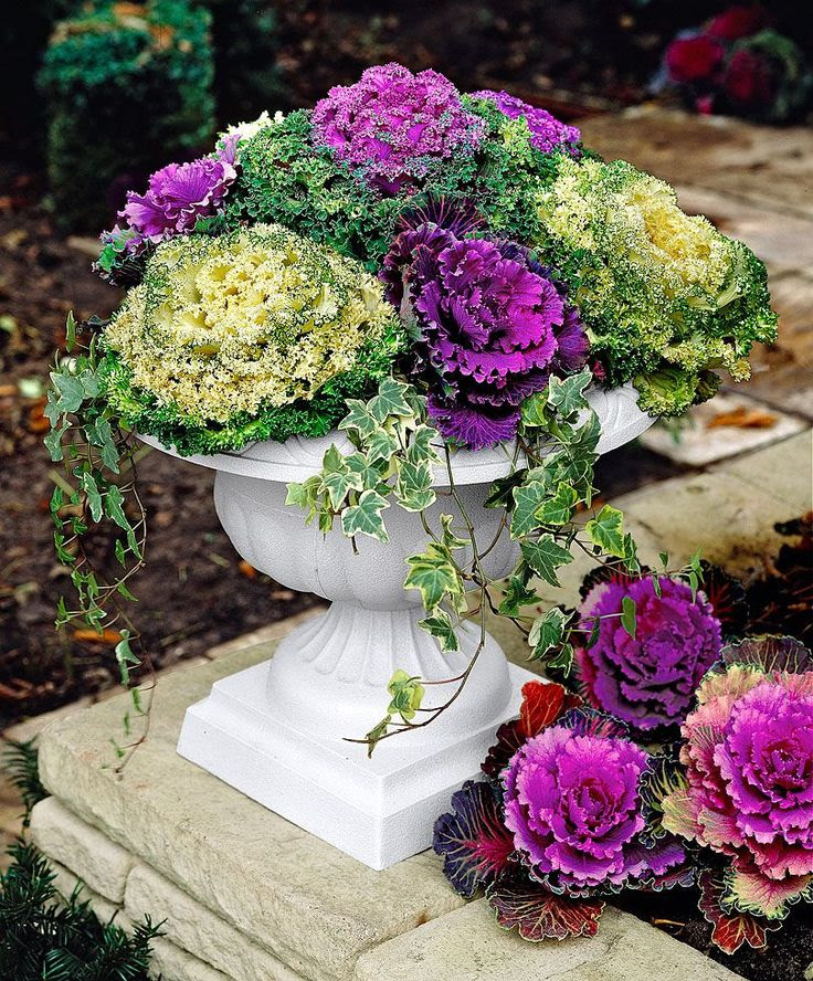 purple and white ornamental cabbage for fall gardens
