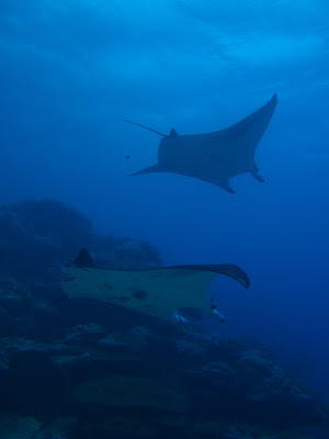 Yap, Micronesia. Manta Rays