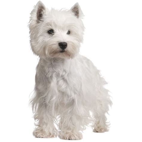 West Highland Terrier ? Small Dog Breeds