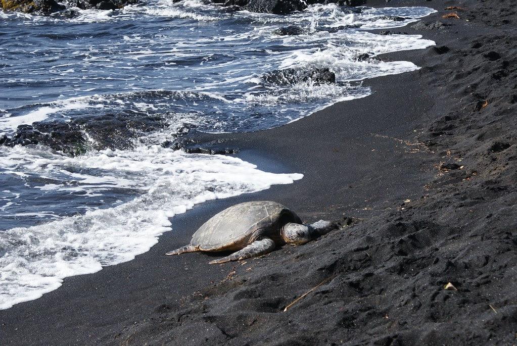 Hawkbill sea turtle 4