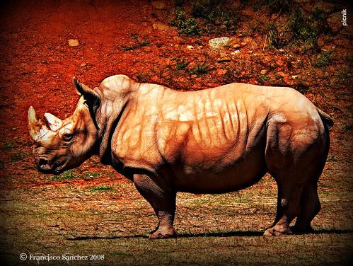 Rinoceronte / Rinoceront / Rhinoceros / Rhinocerotidae