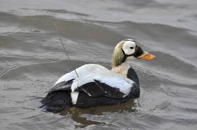 El eider de anteojos es una de las especies que están condenadas a desaparecer si no se frena el calentamiento en el Ártico.