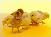 easter_chicks_screensaver