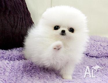 Pomeranian Dog Baby