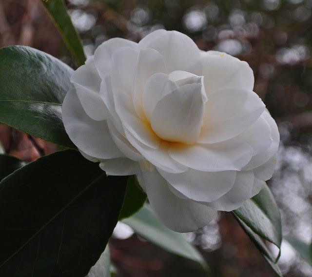 Camellia japonica 'Nuuccio's Gem'