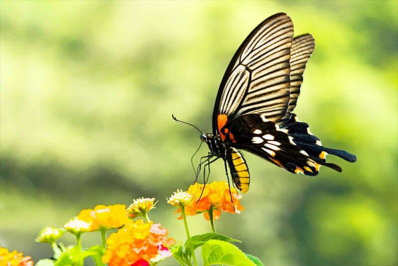 Las encantadoras Mariposas
