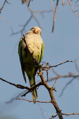 Green Monk Parrot (Myiopsitta monachus)-5.jpg
