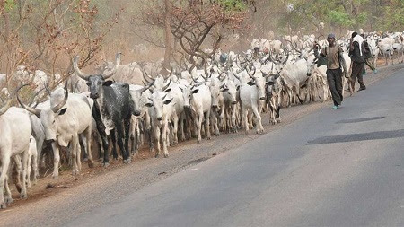 Thousands of Cattle Flood Benue Communities Hours After Anti-Grazing Law Implementation