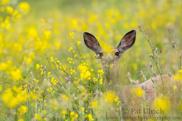 Mule deer in wildflowers in Point Reyes National Seashore
