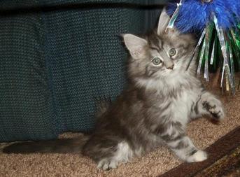Felsebiyat Dergisi – Popular Maine Coon Kittens For Sale