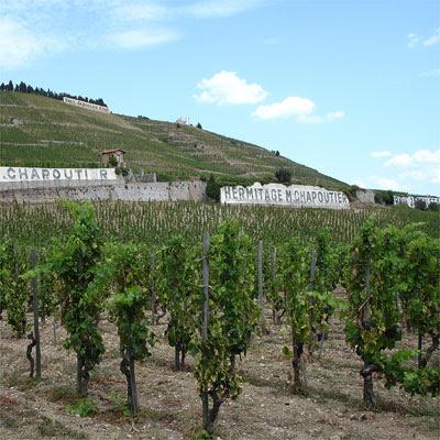 Ripe Syrah grapes at Les Gréffieux