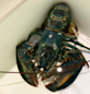 Rare blue lobster spotted at Red Lobster before being cooked finds home at Ohio zoo