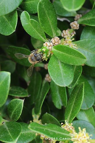 Honeybee on boxwood