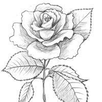 How To Draw A Rose Traditional Drawing Tutorial Pxleyescom