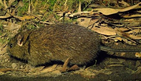 Australian Swamp Rat   Biodiversity of the Western Volcanic Plains
