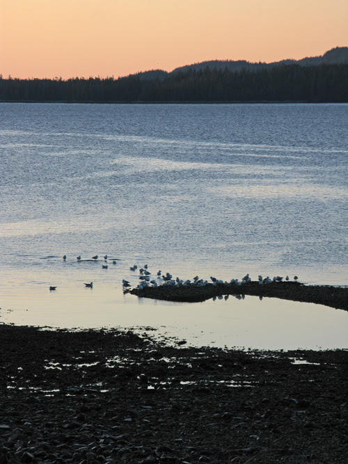 seagulls on the beach at dawn, Kasaan, Alaska