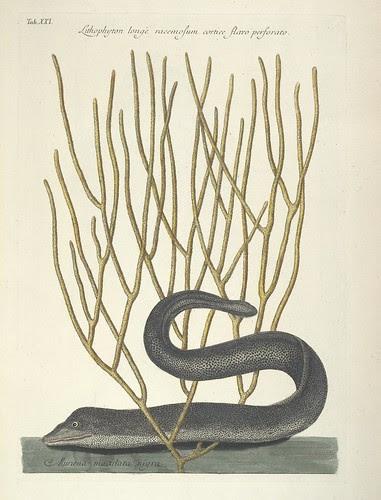 Lithophyton longe racemosum cortice flavo perforato AND Muraena maculata nigris