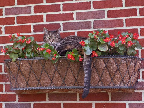 Cat in Flower Box
