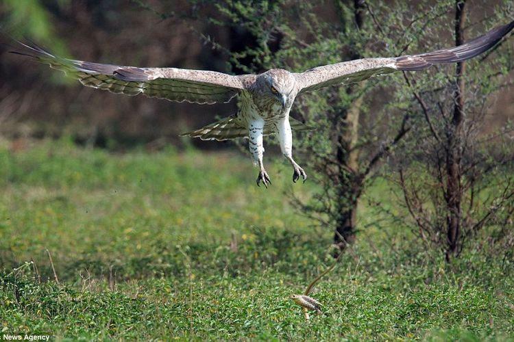 7000 Gambar Burung Elang Vs Ular Gratis